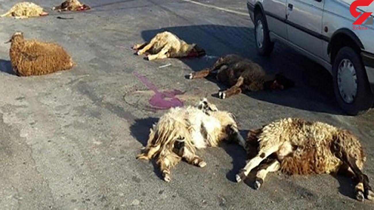 ام وی ام 10 گوسفند را کشت / در مرند رخ داد
