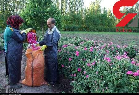 امسال 140 تن گل محمدی در خوی برداشت می شود