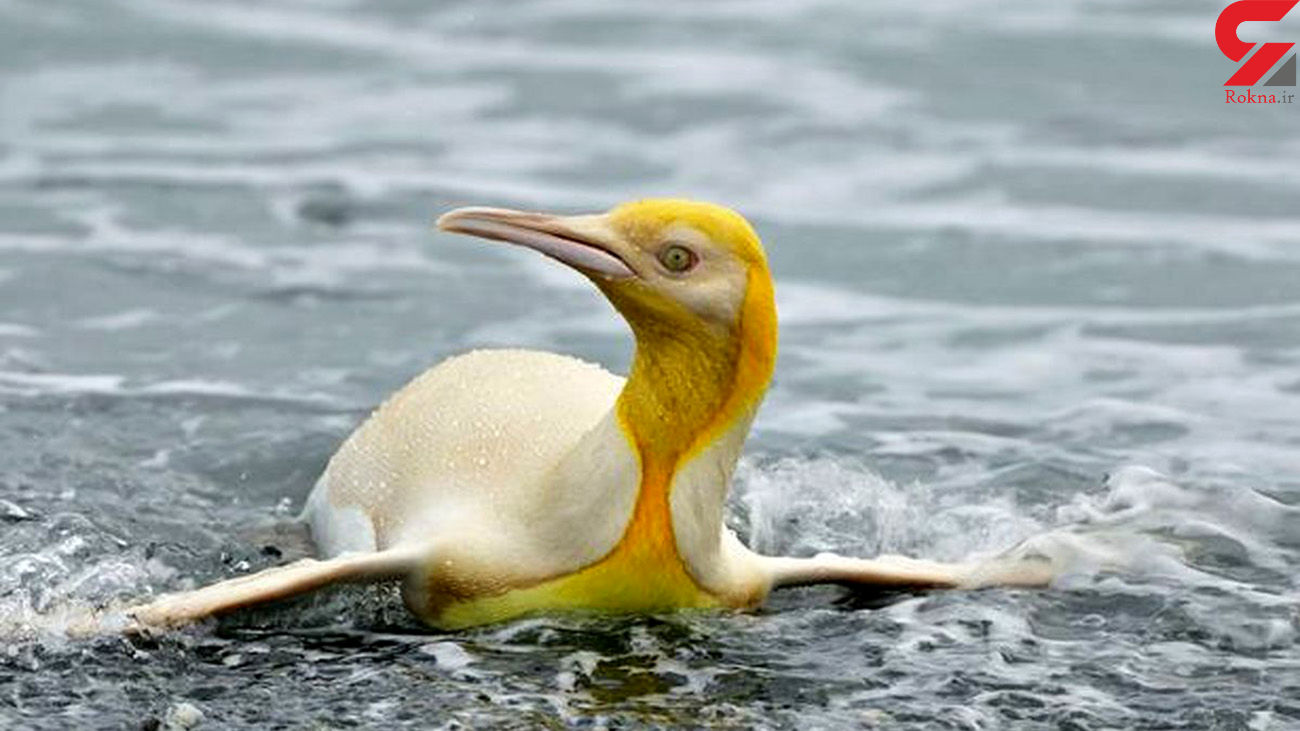 عکس جالب از اولین پنگوئن زرد جهان