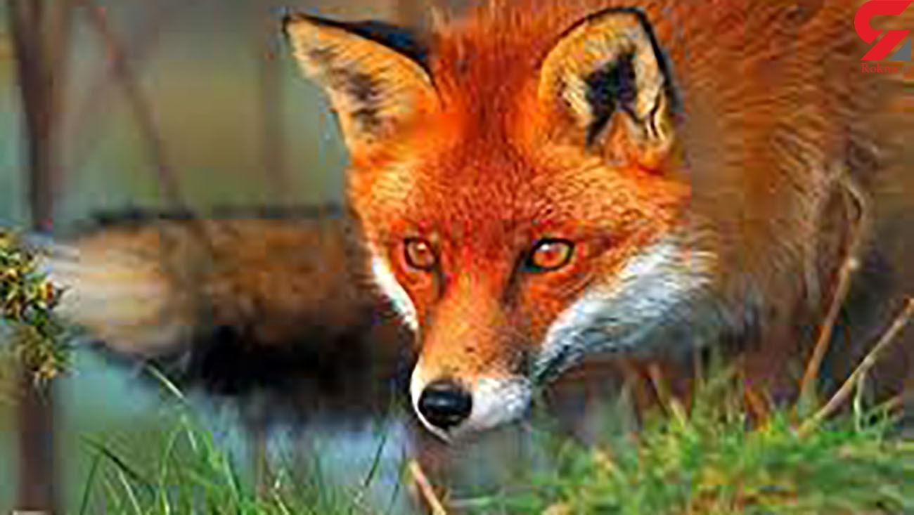 فیلم پیدا شدن یک روباه در حیاط بانک مرکزی