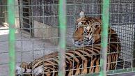 دادستان دستور داد / پلمپ باغ وحش مشهد بخاطر مرگ مرموز 4 توله ببر + جزییات