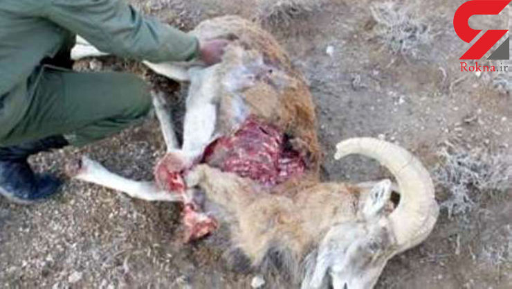 دستگیری شکارچی غیرمجاز و کشف لاشه قوچ وحشی در شیراز