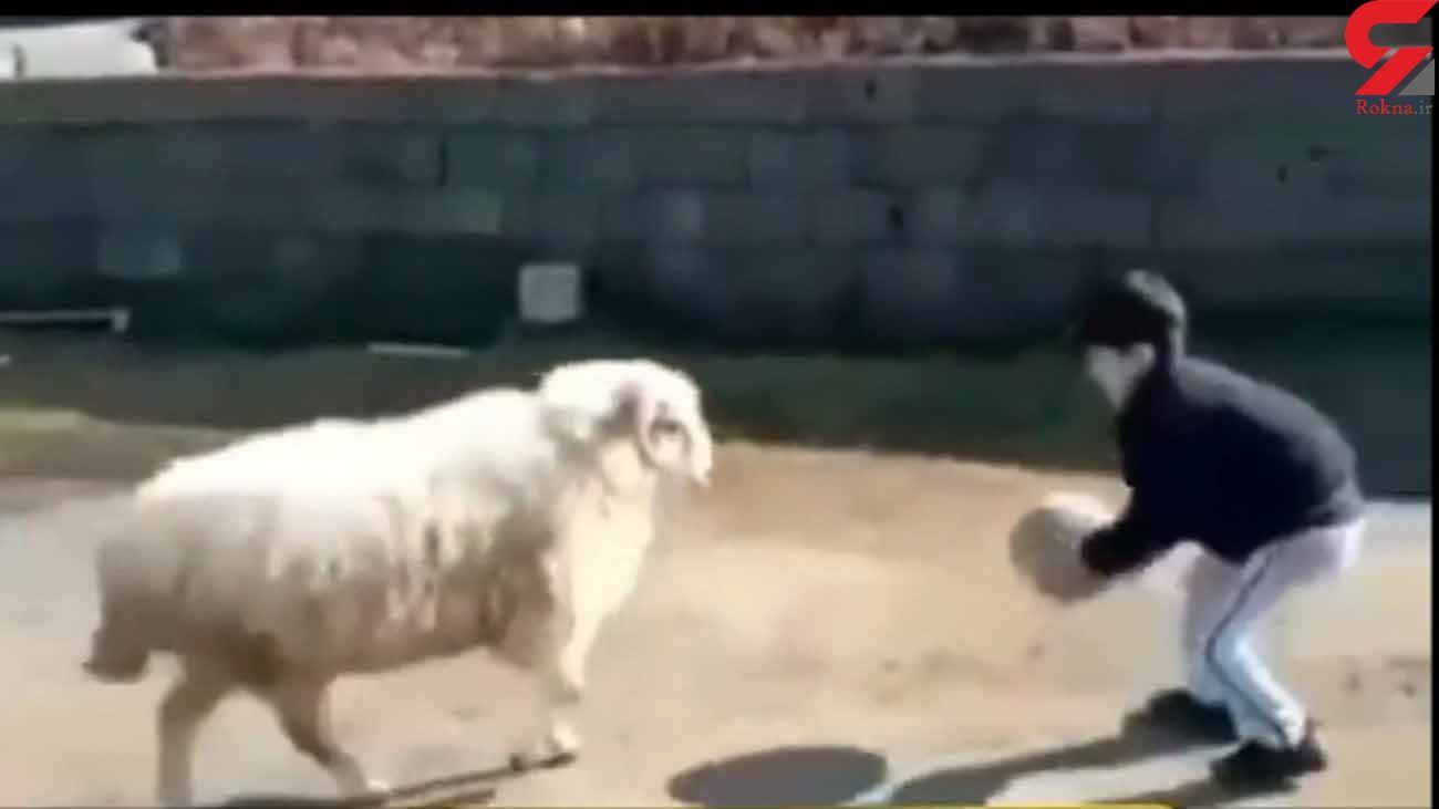 فوتبال بازی کردن پسر بچه گیلانی با قوچ + فیلم دیدنی