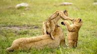 همبازی شدن بچه شیرها + عکس