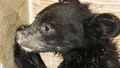 توله خرس سیاه در جستجوی مادر!