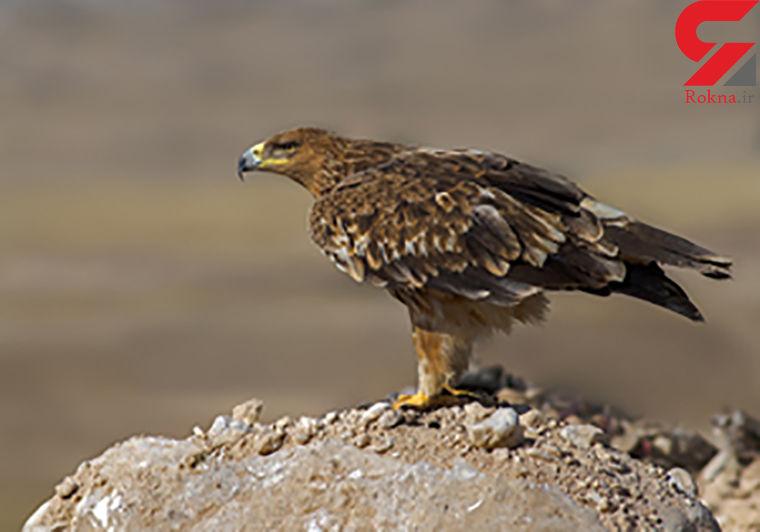 درمان عقاب شاهی در چهارمحال و بختیاری و بازگشت به طبیعت