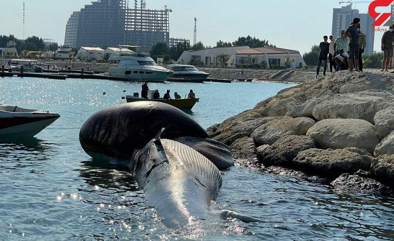 دومین لاشه نهنگ به ساحل کیش رسید + فیلم و عکس