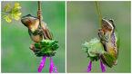 اثرات فست فود روی قورباغه +تصاویر