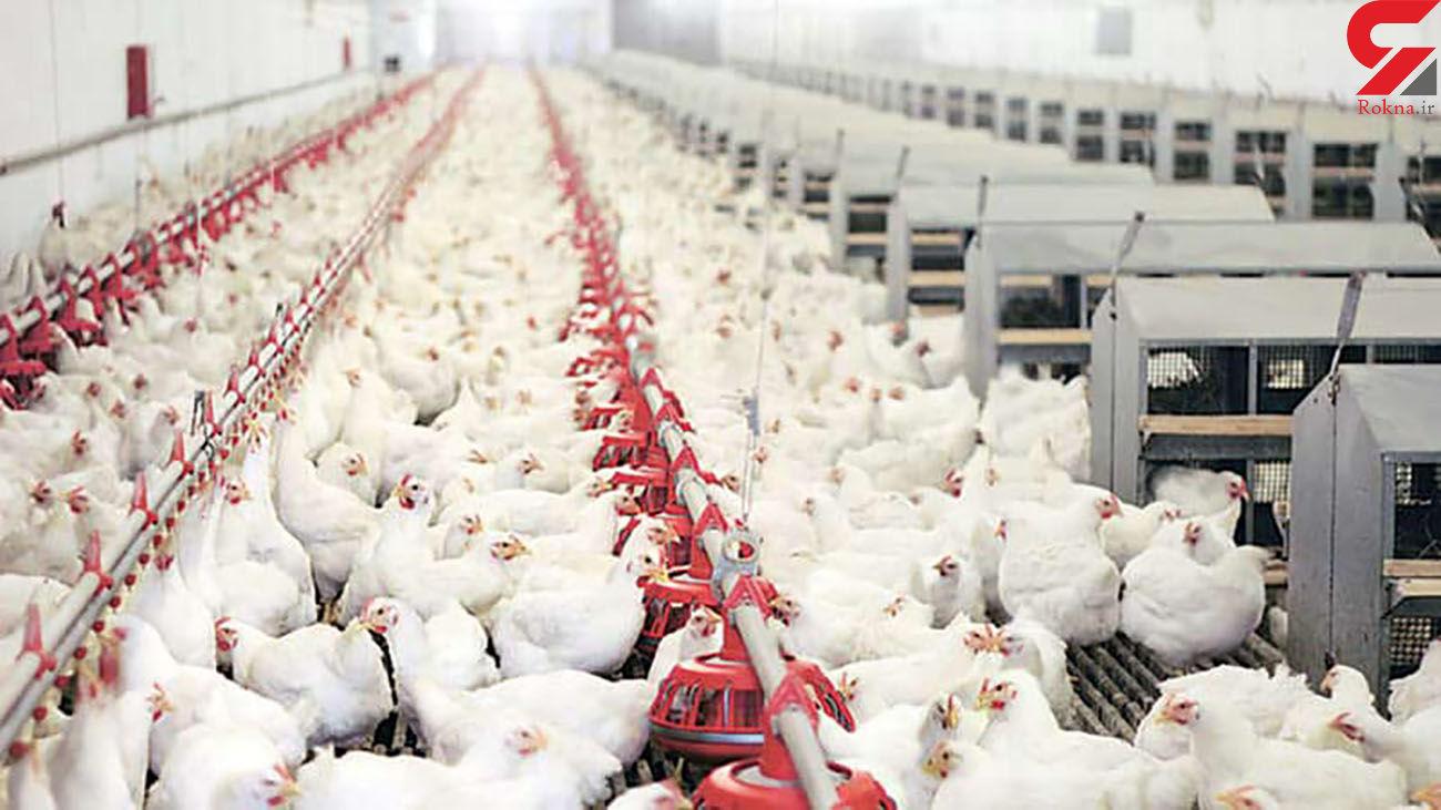 دلیل افزایش قیمت مرغ بیکفایتی مسئولان است