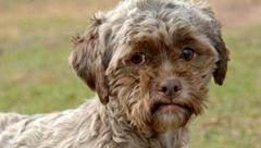شباهت عجیب یک سگ به انسان+عکس