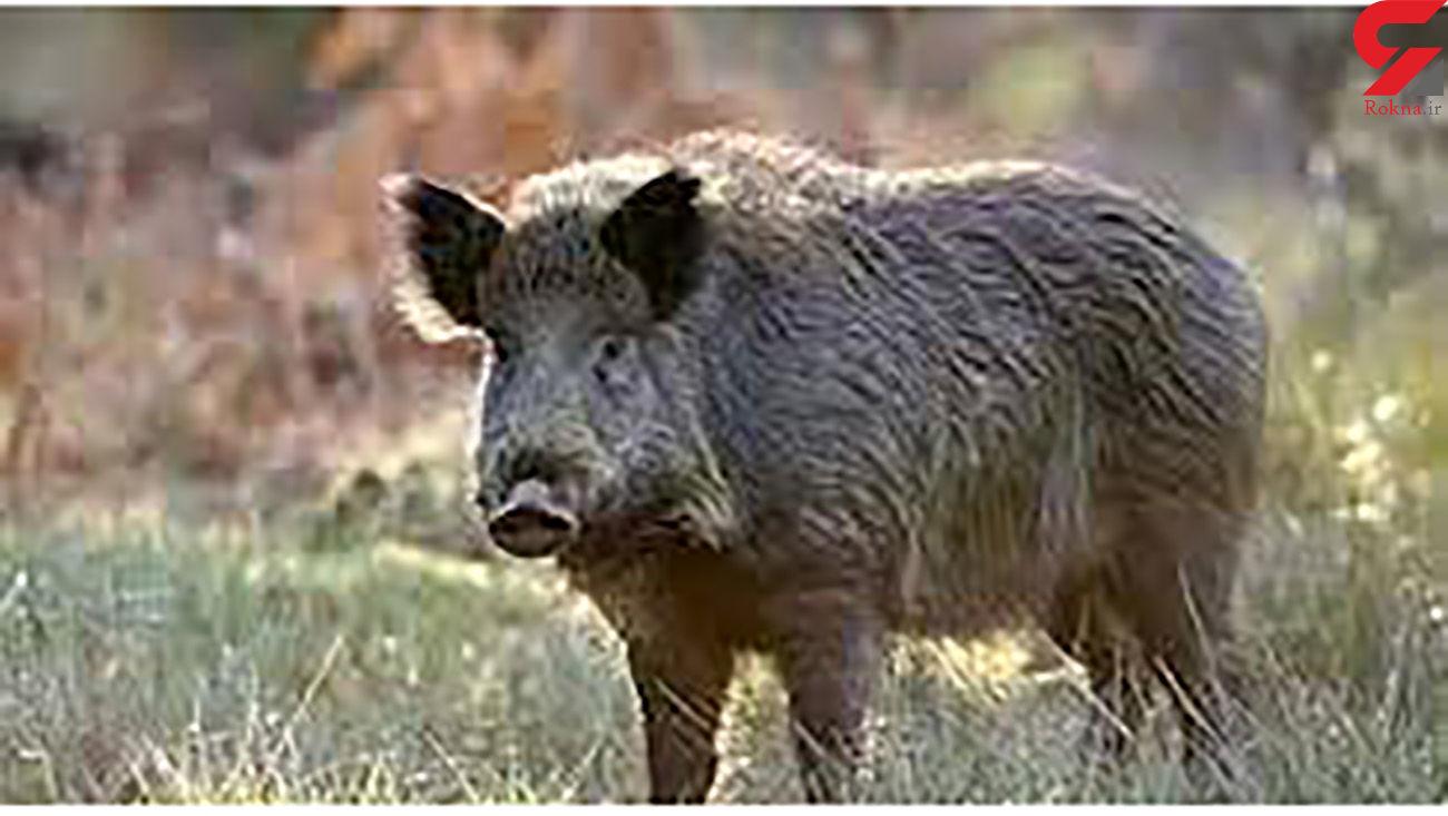 شکار گراز در شهرستان بهار مجاز است