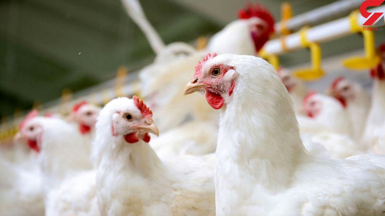 ذخایر گوشت مرغ تا پایان سال تأمین شد + قیمت مرغ