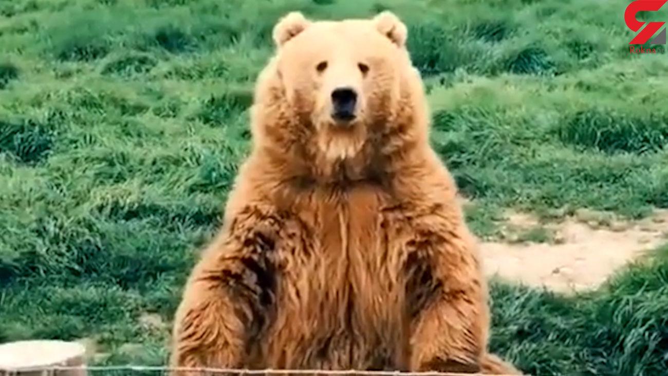 نقاط حادثه خیز و پر تنش در ارتباط با خرس قهوهای شناسایی میشود