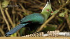 عکس های شگفت انگیز از پرندهای معروف به مرغ بهشتی
