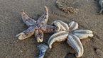 هزاران ستاره دریایی مرده در ساحل انگلیس + عکس