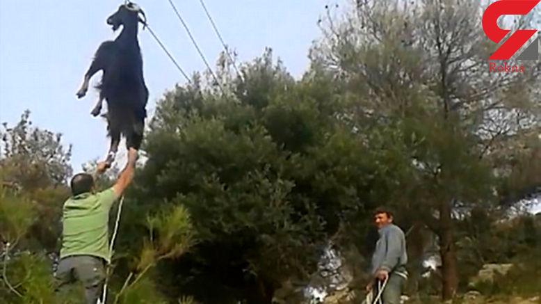 عملیات مردان روستا برای نجات بز بازیگوش که پرواز کرده بود! + تصاویر