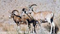خطر انقراض بیش از 70گونه جانوری در ایران