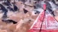 عبور ترسناک یک مرد از رودخانه صدها تمساح + فیلم
