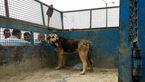 حمله سگهای وحشی به مرد ۵۵ ساله در بابلسر+ فیلم و عکس