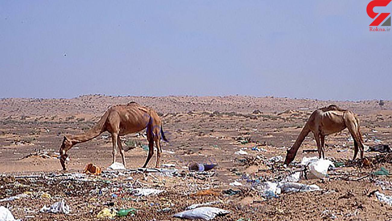 مرگ همزمان 300 شتر + عکس