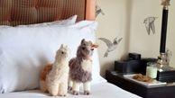 لاما درمانی در هتل پورتلند + عکس