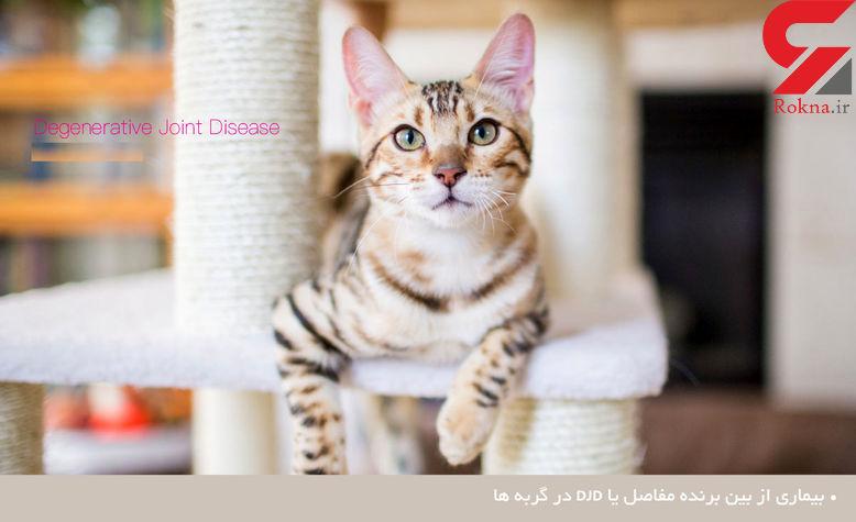 آشنایی با بیماری از بین برنده مفاصل در گربه ها