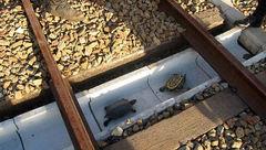 رسانه ای شدن احداث تونل برای عبور لاک پشت ها در این کشور+عکس