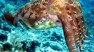 تولید محصولات قابل استتار با اسرارآمیزترین موجود دریایی