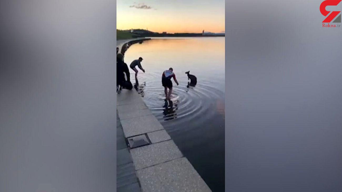 کانگوروی گرفتار در رودخانه نجات یافت + فیلم