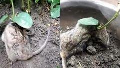 گیاهی که روی گردن موش بیچاره ریشه کرد +عکس