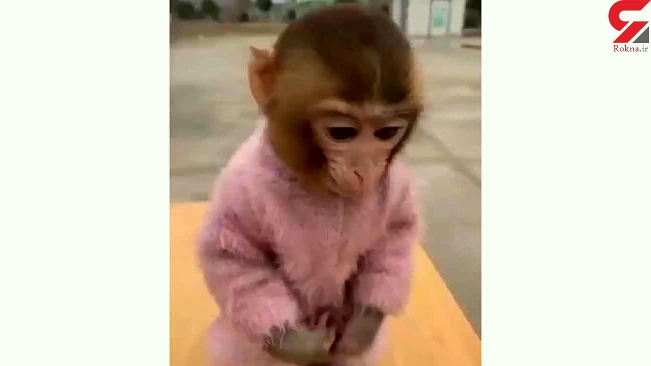 فیلم دیدنی از توت فرنگی خوردن یک بچه میمون