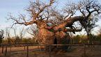 درختی که ۳۰ زندانی در آن حبس بودند+تصاویر