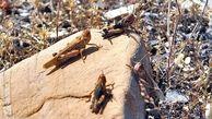 مشاهده ملخ صحرائی در جاسک