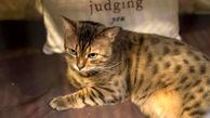 خبر نگران کننده / گربه ها کرونا می گیرند بویژه ولگردها