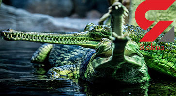 تمساحهای سبز پوزه باریک
