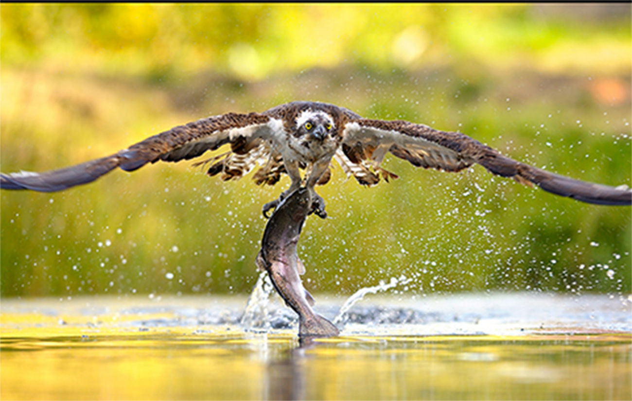 شکار زیبای عقاب از دریا + عکس