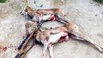 عاملان شکار 2 قوچ وحشی جوان در سمنان دستگیر شدند +عکس