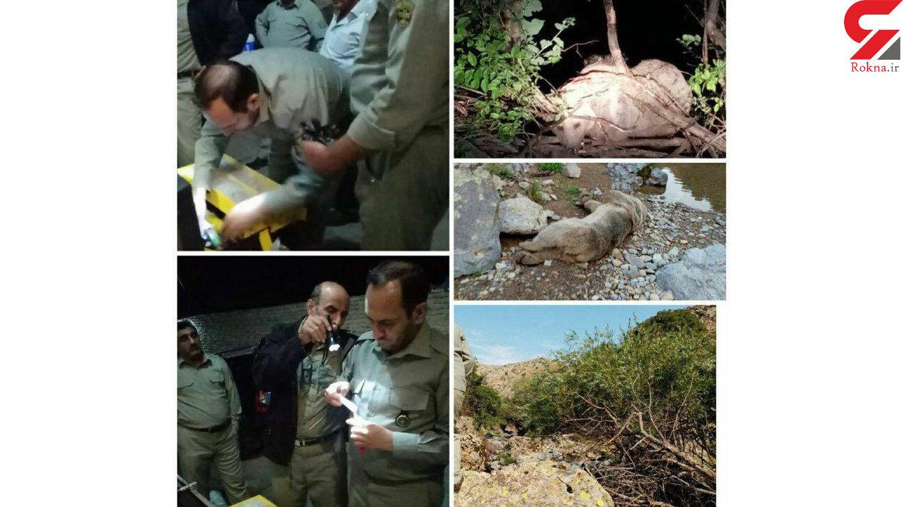 نجات شبانه یک قلاده خرس در شهرستان سراب + عکس