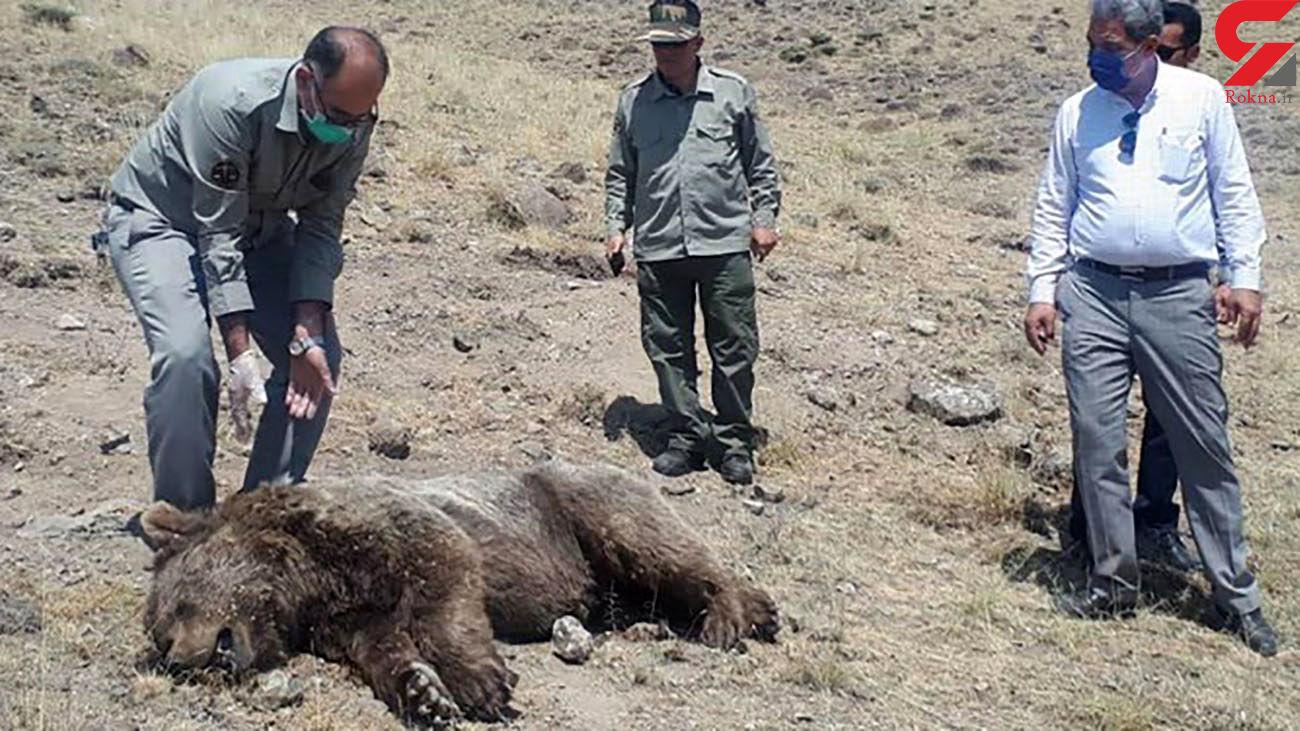 عکس وحشتناک /  مرد بی رحم با تراکتور خرس را له کرد / در مشگین شهر رخ داد
