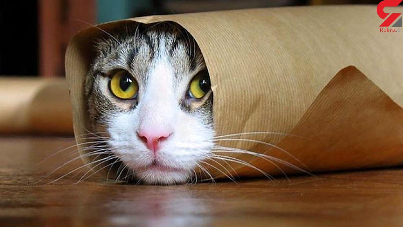 کرونا میتواند از انسان به گربه منتقل شود؟
