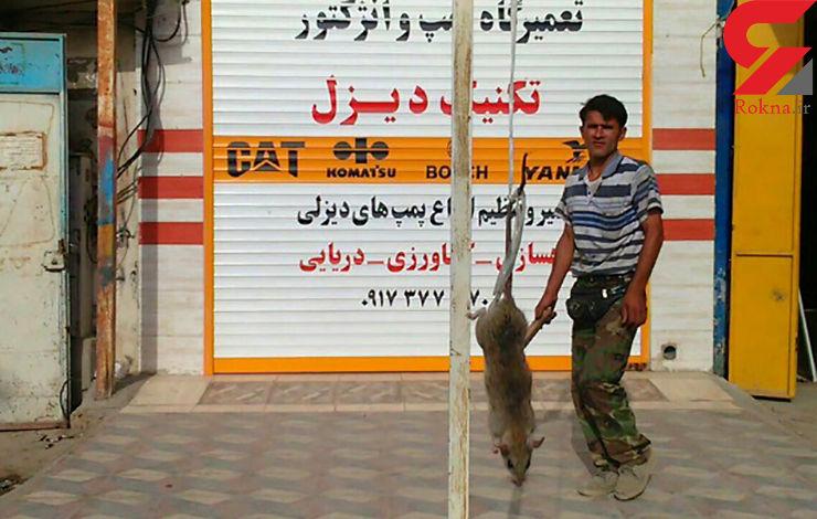 شکار موش 27 کیلویی در بوشهر+ عکس