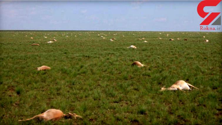 مرگ 60 هزار بز کوهی در قزاقستان