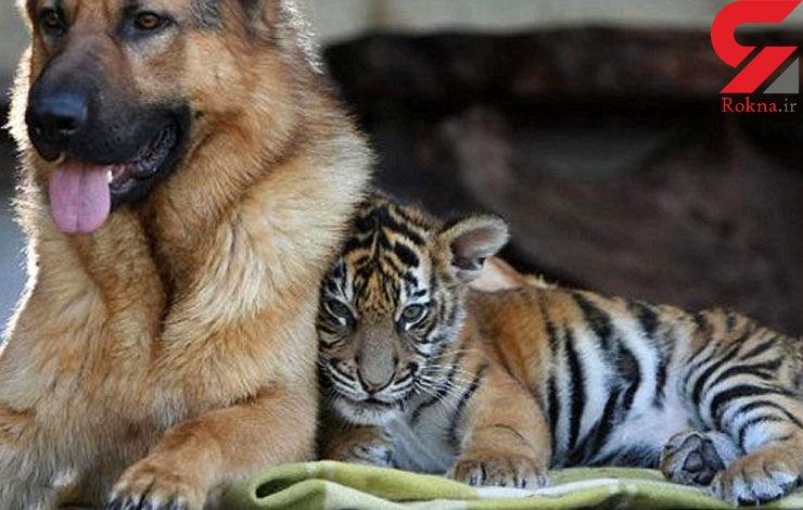 دوستی باورنکردنی ببر و یک سگ از زمان تولد+فیلم