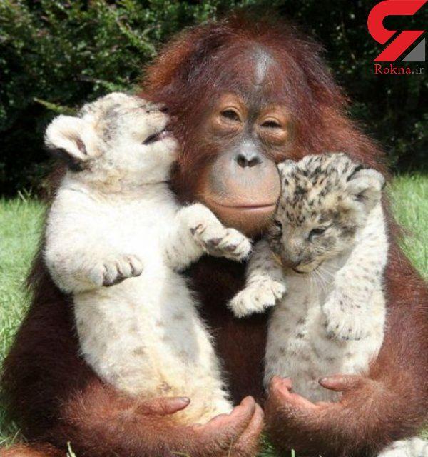 عشق مادری میمون برای توله ببرها
