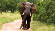 حمله فیل به خودروی گردشگران + فیلم