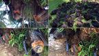 صحنه های عجیب از مرگ صدها خفاش بر اثر گرمای شدید هوا در استرالیا +فیلم