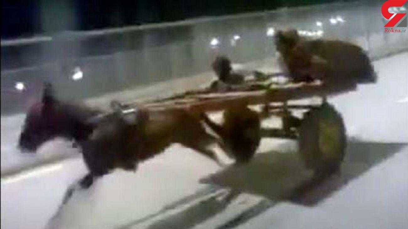 فیلم الاغ سواری در اتوبان شلوغ! + فیلم