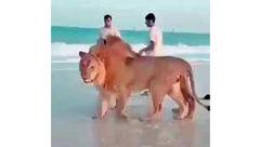 عکس های عجیب از شیرهای وحشی در سواحل دوبی
