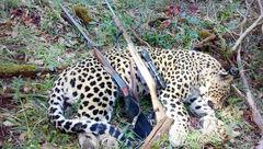 جریمه 80 میلیون تومانی برای شکار پلنگ ایرانی + عکس