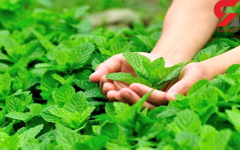 تسکین سردردهای میگرنی با این سبزی خوشبو